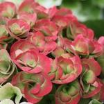 Hydrangea macrophylla Papillon