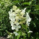 Hydrangea paniculata Levana (1)