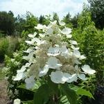 Hydrangea paniculata Wims Red (2)