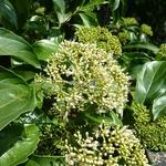 Viburnum cylindricum (1)