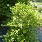 Viburnum opulus Xanthocarpum (1)