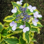 Hydrangea macrophylla Gold Rush