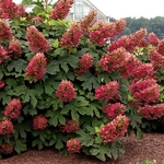 Hydrangea quercifolia Ruby Slippers