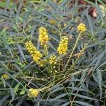 Mahonia eurybracteata Softcaress