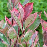 Photinia fraseri Louise (2)