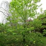 Magnolia Yellow Bird (6)