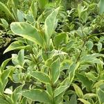 Ligustrum japonicum Arlequin (2)