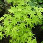 Acer palmatum Summer Gold (1)