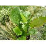 bergenia%20cordifolia%20redstart