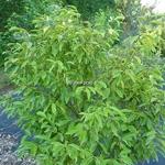 Euonymus myrianthus (2)