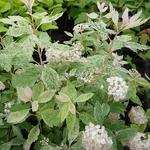 Spiraea vanhouttei Pulverulenta (2)