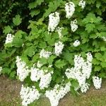 Hydrangea quercifolia Snowflake (24)