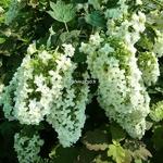 Hydrangea quercifolia Snowflake (4)