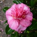 Camellia sasanqua Sparkling Burgundy (4)