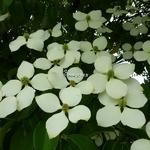 Cornus kousa Angustata (5)