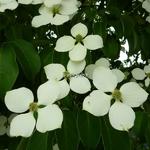 Cornus kousa Angustata (4)