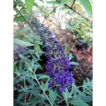 l_buddleja-davidii-apollon-blue