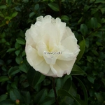Camellia sasanqua Azakura
