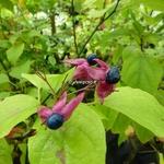 Clerodendrum trichotomum Purple Blaze (3)