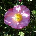 Camellia sasanqua Hana Daijin Benten
