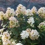 Hydrangea paniculata Tickled Pink (3)