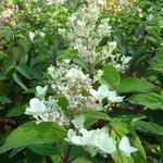 Hydrangea paniculata Tickled Pink (1)