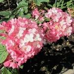 Hydrangea paniculata Tickled Pink