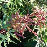 Acer palmatum Beni Komachi (3)