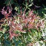 Acer palmatum Beni Komachi (2)