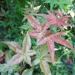 Acer palmatum Beni Maiko (1)