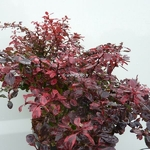 Berberis thunbergii Inspiration