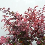 Berberis thunbergii Inspiration (2)