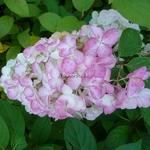 Hydrangea paniculata Fraise Melba (1)