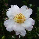 Camellia sasanqua Anshar (3)