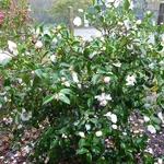 Camellia sasanqua Anshar (1)