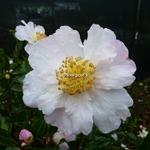 Camellia sasanqua Anshar (2)