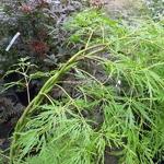 Acer palmatum dissectum Flavescens (3)