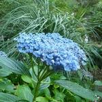 Hydrangea macrophylla Etanin