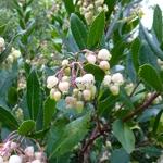 Arbutus unedo (3)