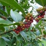 Ilex x koehneana Chestnut Leaf (2)