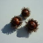 Quercus acutissima (1)