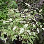 Callicarpa japonica Shiji Murasaki (4)