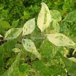 Callicarpa japonica Shiji Murasaki (1)