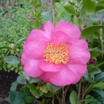 Camellia sasanqua Anna Dozfka (1)