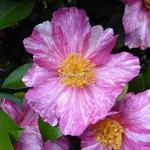 Camellia sasanqua Ashtar (6)