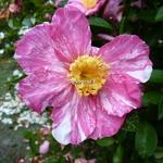 Camellia sasanqua Ashtar (1)