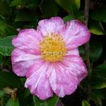 Camellia sasanqua Ashtar (3)