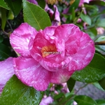 Camellia sasanqua Ashtar (4)