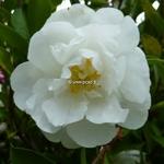 Camellia sasanqua Etoile du Berger (2)