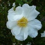 Camellia sasanqua Orcival (1)